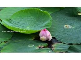 Lotus Pond - Putheri Kulam