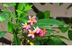 Pink Champa Flowers