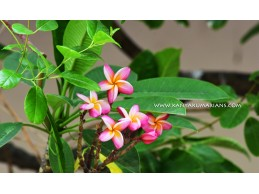 Pink Champa Flowers